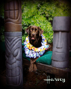 Harvey's Tiki Pawtrait