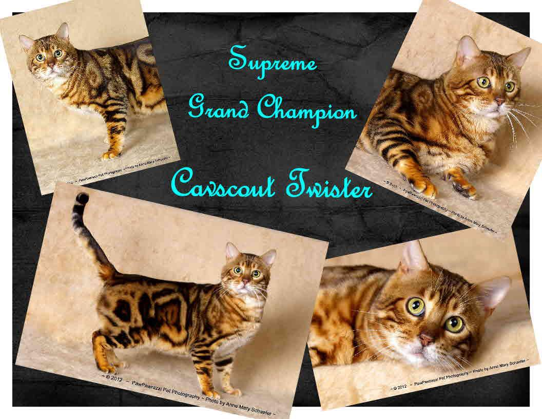 Supreme+Grand+Champion+Bengal+Twister.