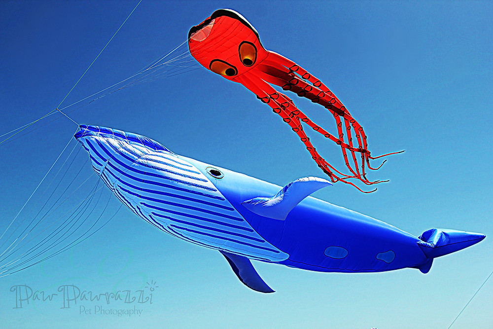 Giant Blue Whale, Red Octopus kites flying in blue sky