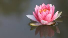Off the Mat: What does a sacred Lotus flower symbolize?