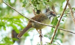 Cuban Sparrow