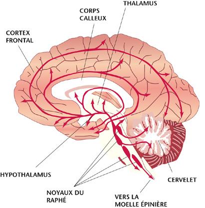 Sytème sérotoninergique