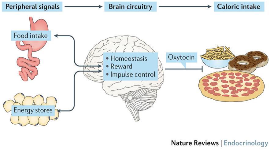 Mécanismes de l'ocytonine