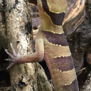 Crytodactylus Intermedius 1.JPG