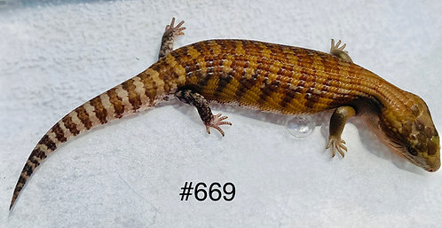 Northern Blue Tongue - Repxotica Red Line - #669