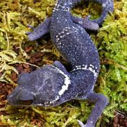 Chinese Cave Gecko 1_edited.jpg