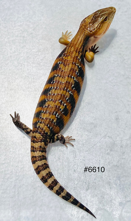 Northern Blue Tongue - Repxotica Red Line - #6610