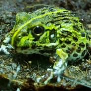 Pixie Frog.jpg
