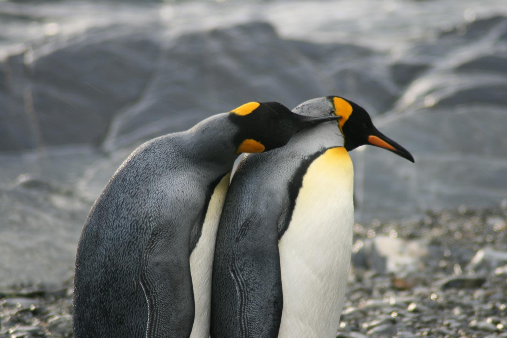 Falklands King penguins.jpg