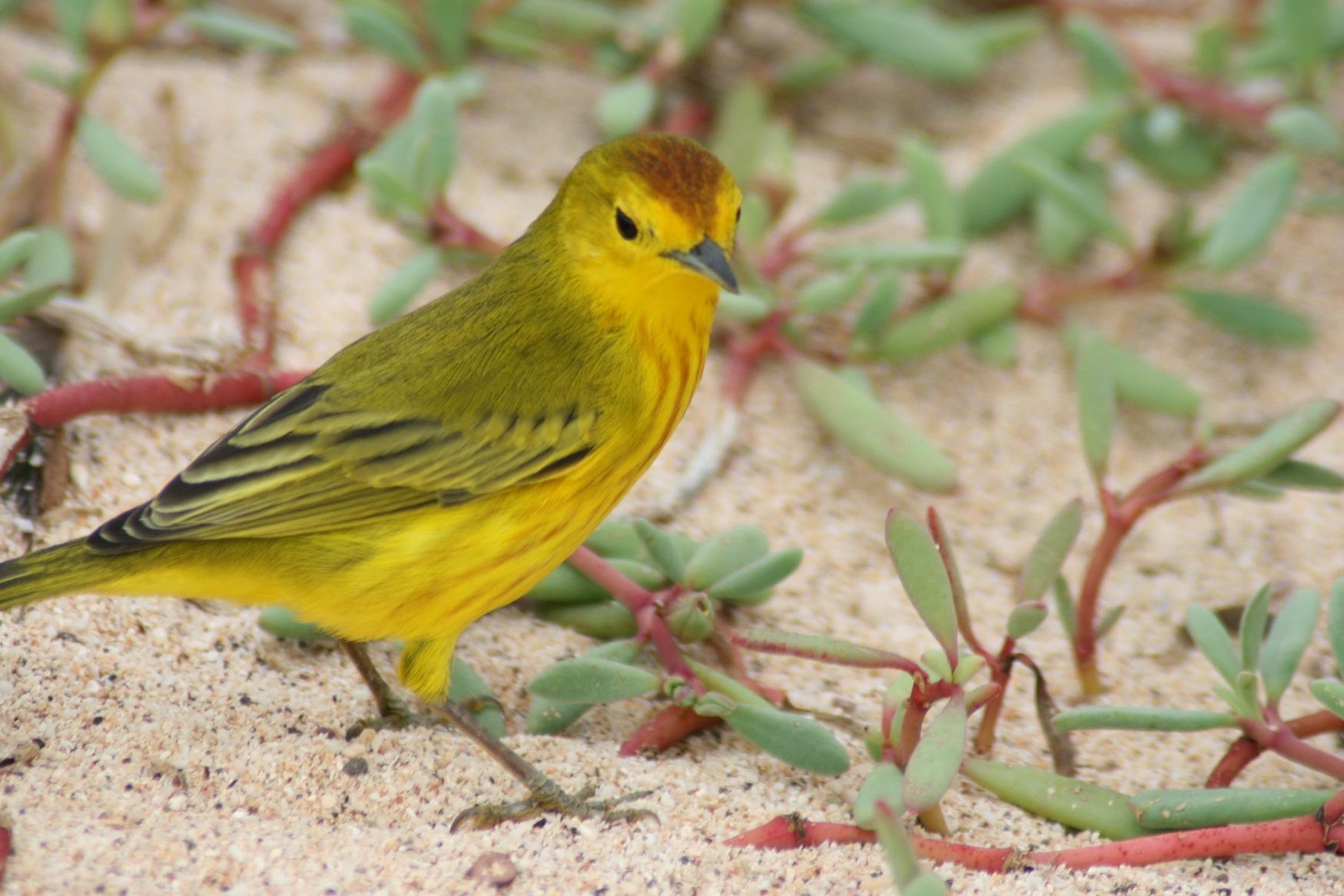 Gal 2011 Yellow warbler 2.JPG