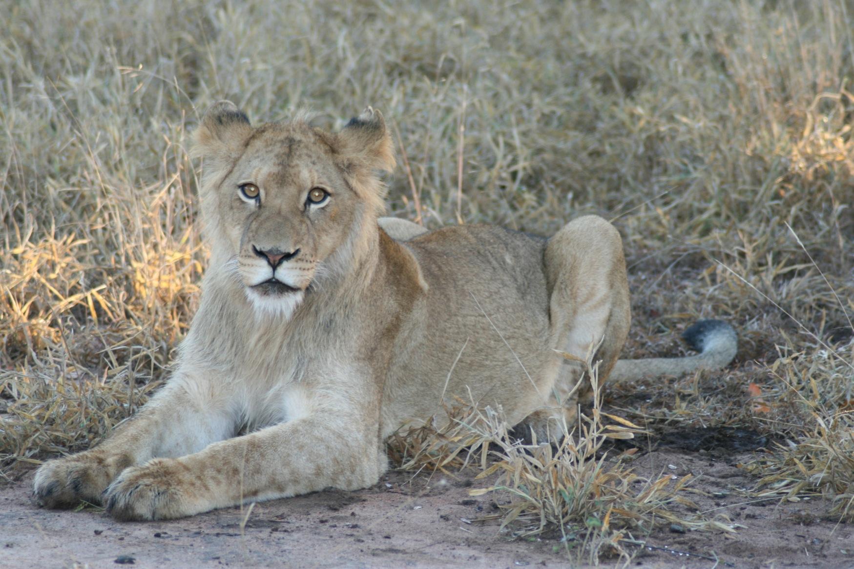 Sth Africa Lion.jpg