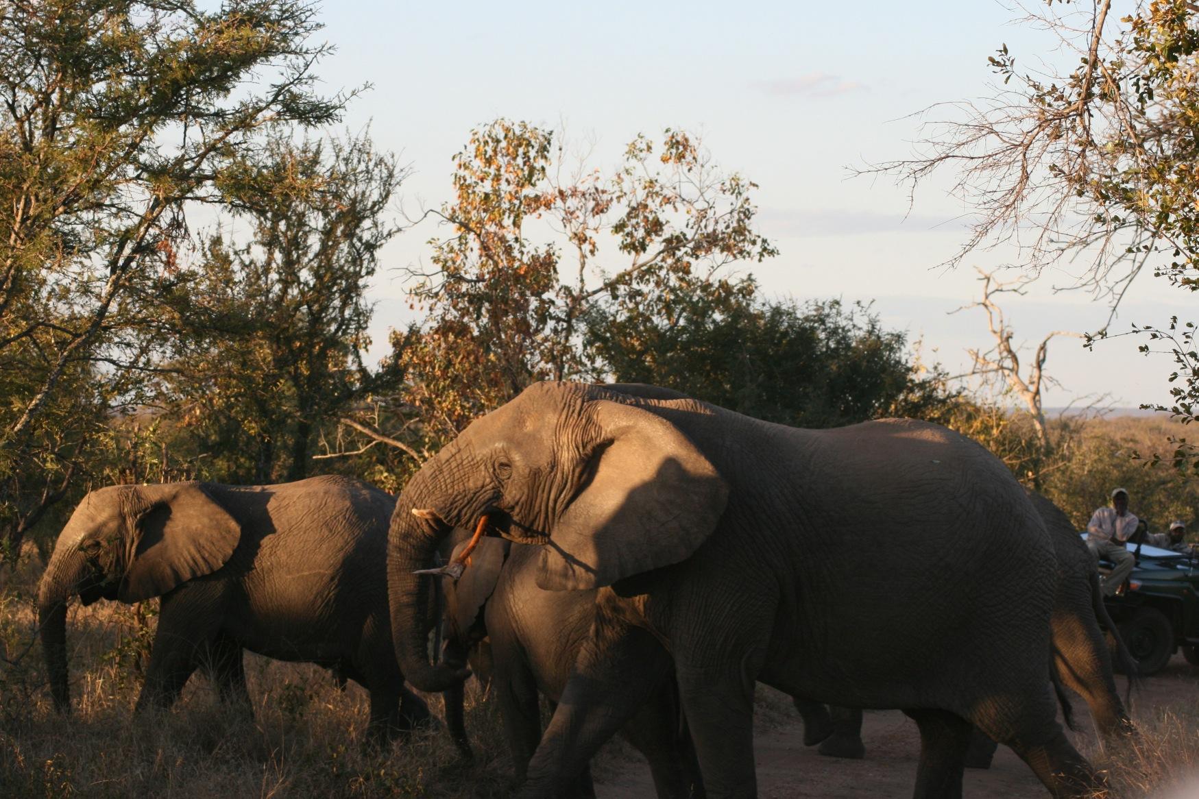 Sth Africa Elephants.jpg