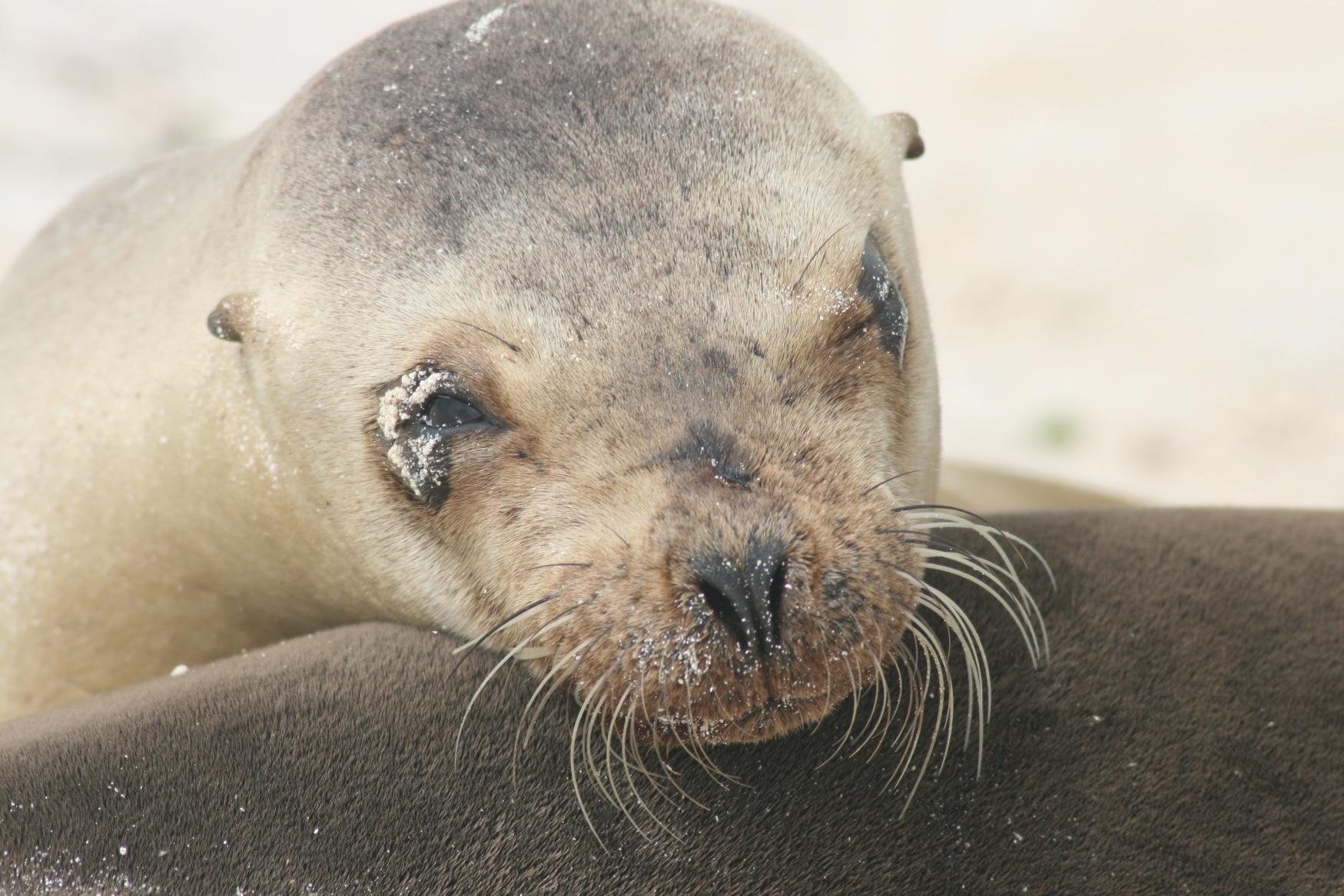 Galapagos sealion pup.JPG