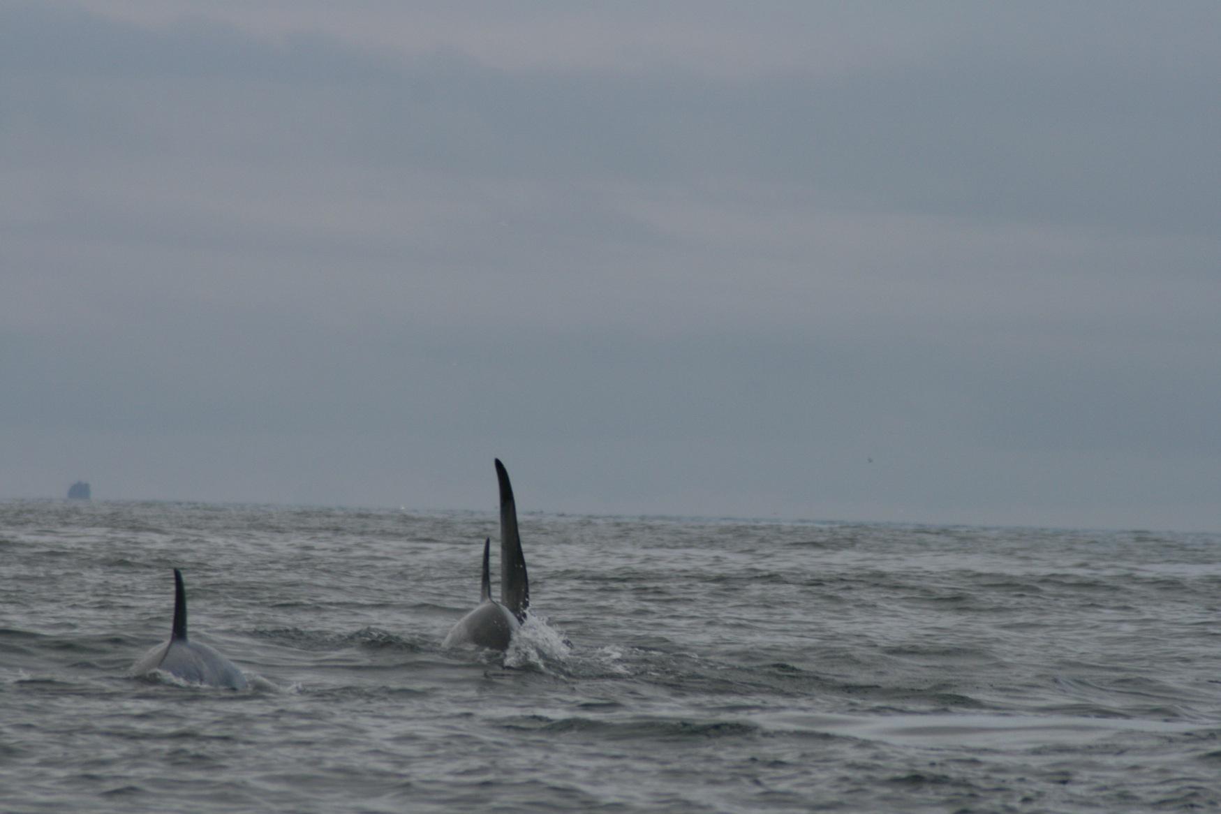 Arctic orcas.JPG