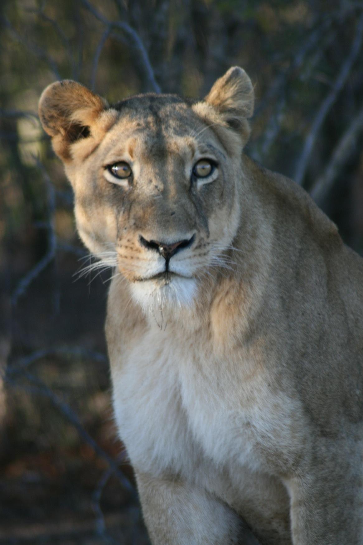 Sth Africa lioness.jpg