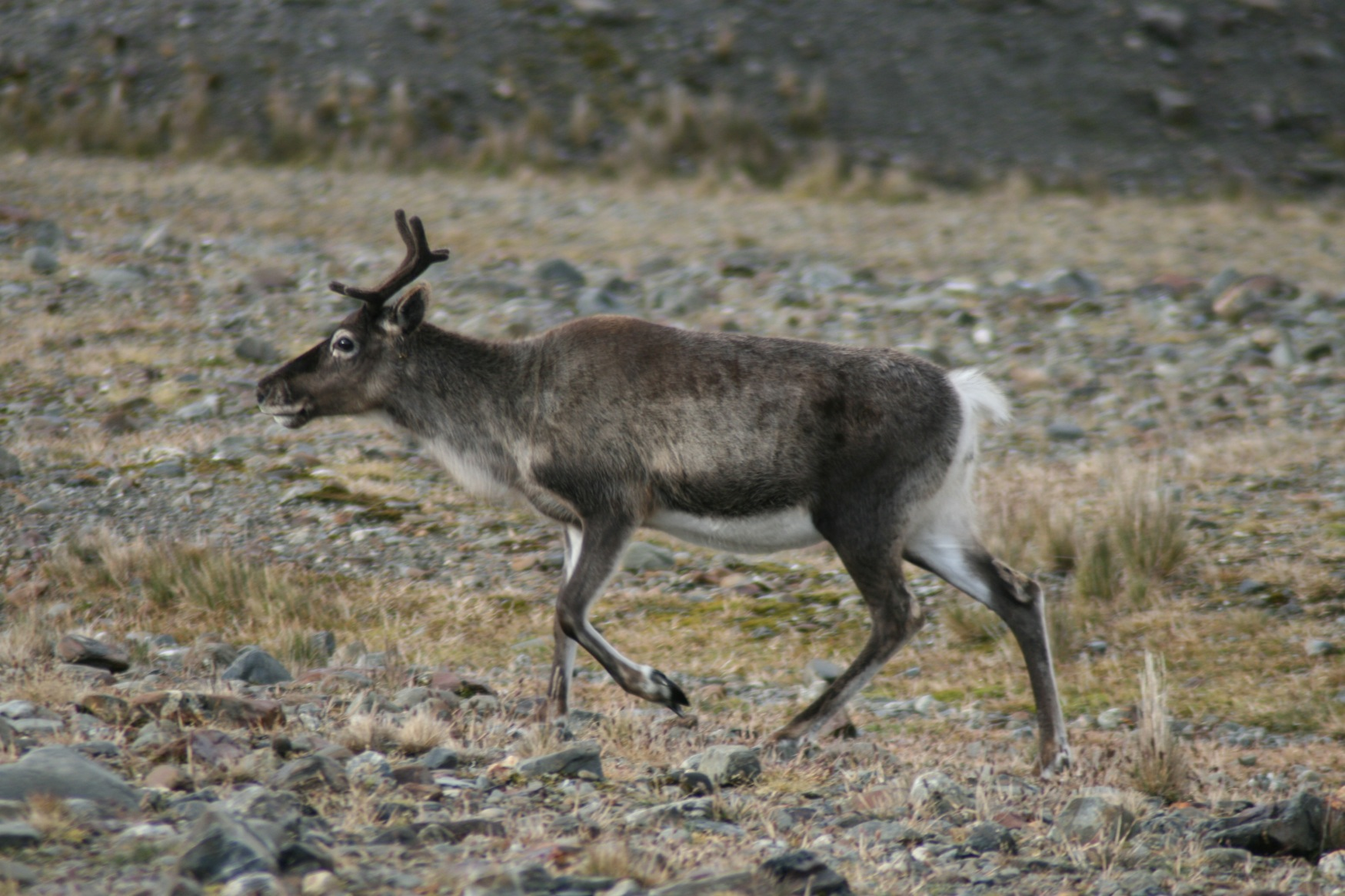Falklands reindeer.jpg