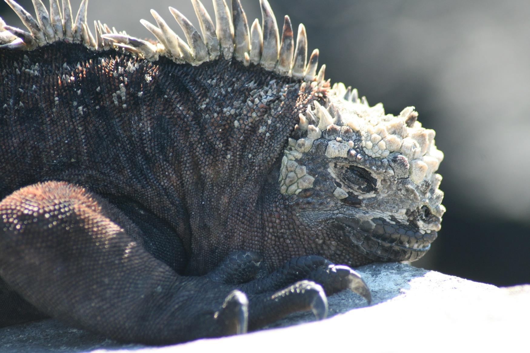 Gal 2011 marine iguana with horny solidified saliva.JPG