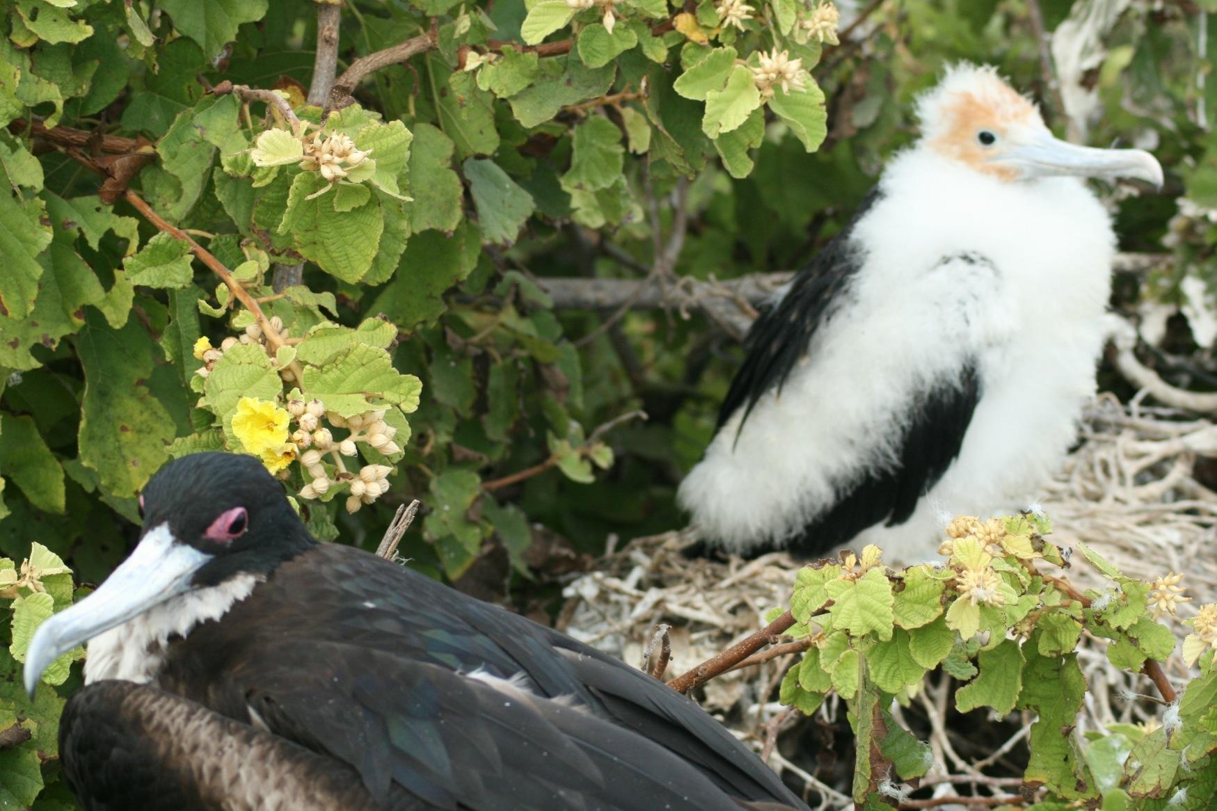 Galapagos baby frigate.JPG