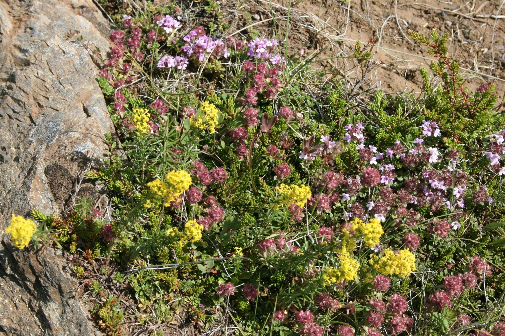 Arctic wildflowers.jpg