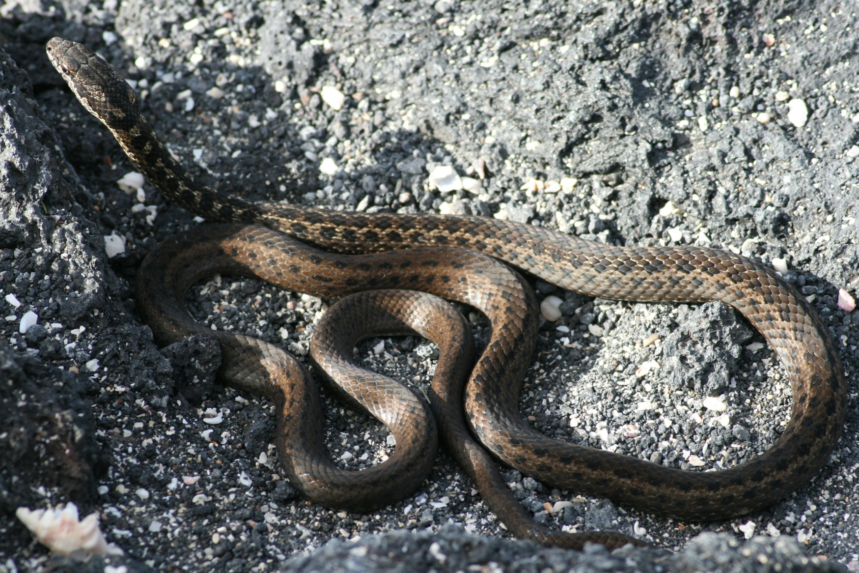 Gal 2011 snake alive.JPG