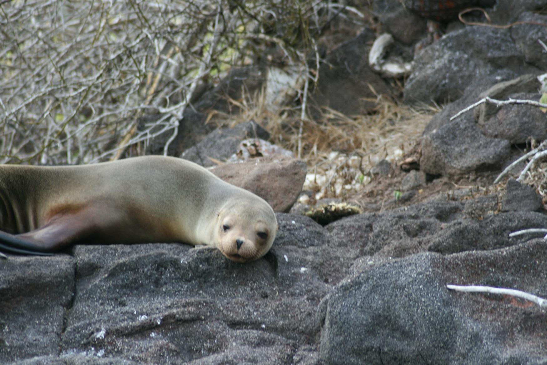 Galapagos sealion do go away.JPG