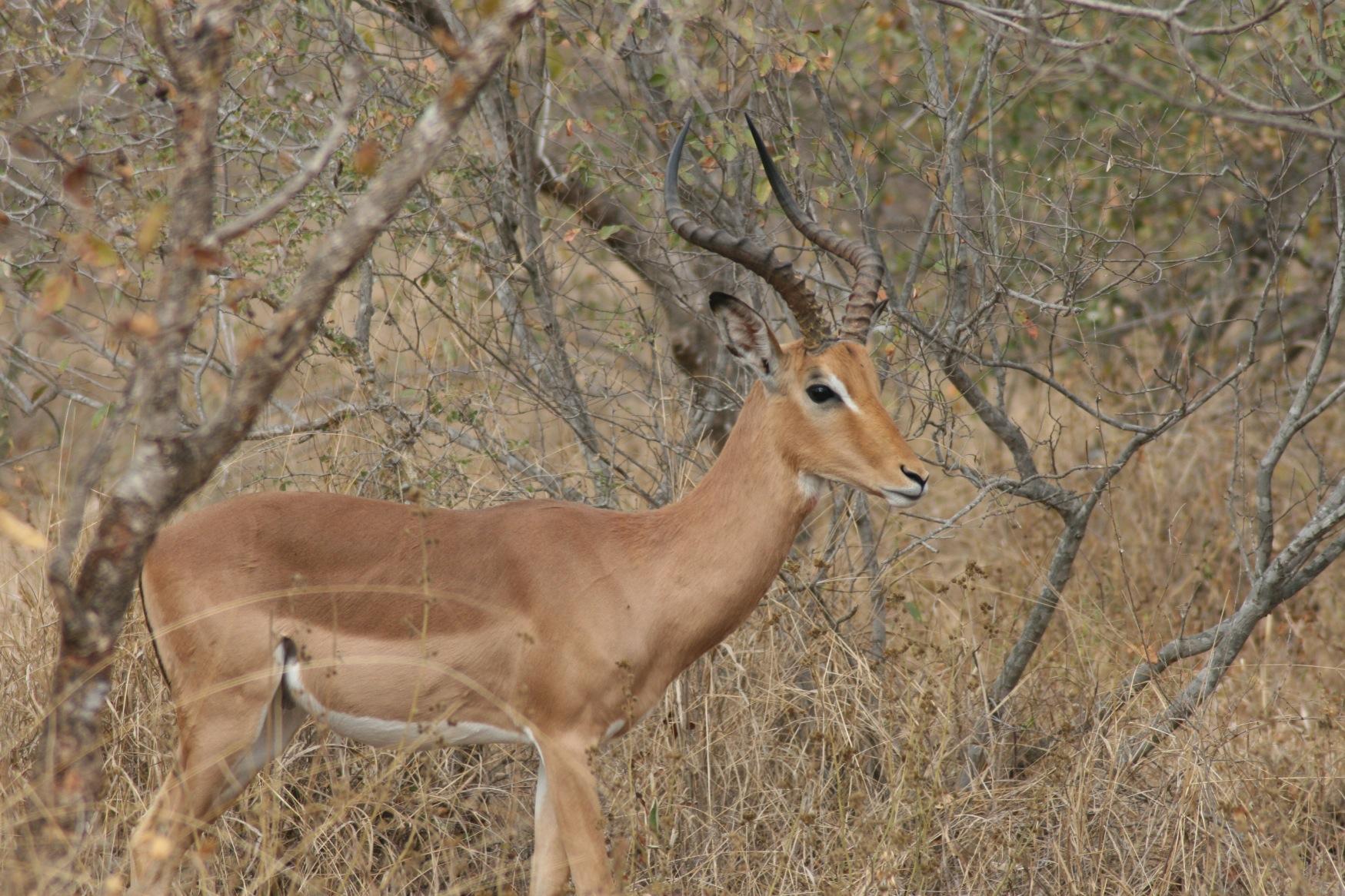 Sth Africa impala.jpg