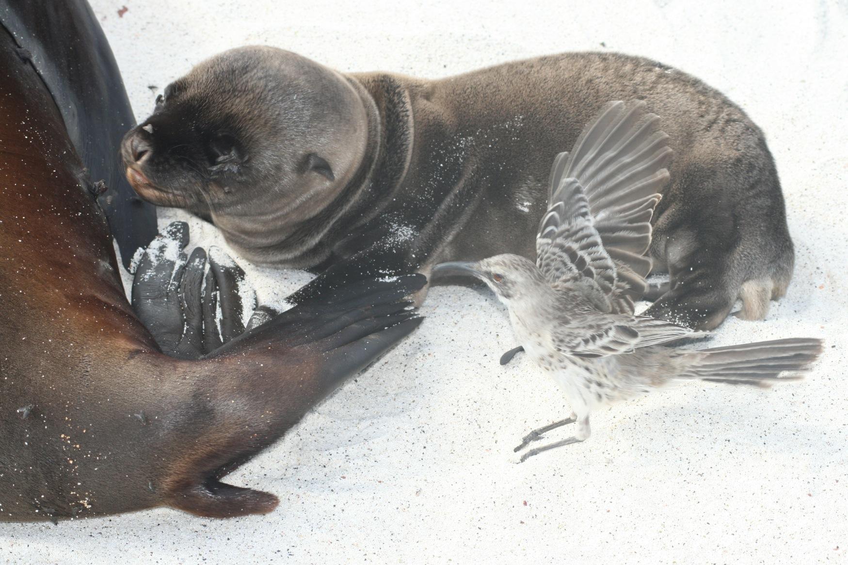 Galapagos seal pup and bird.JPG