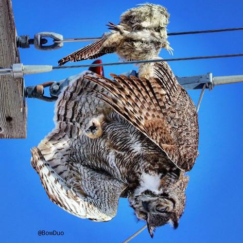 Power line > Great Horned Owl > Hen Pheasant