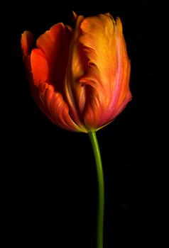 Dale Grant - Tulipia