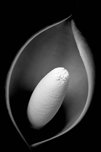 """Monstera Flower"" Black and White Photograph"