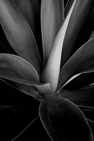 """Agave"" Black and White Photograph"