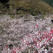 桜とハナモモと茅葺