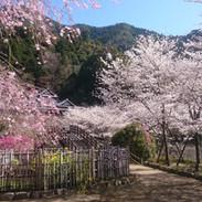 しだれ桜とソメイヨシノ