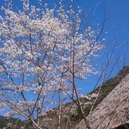 山桜と茅葺