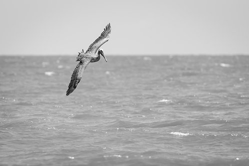 Pelican Hunting The Surf - 11x14 Print - Free Shipping