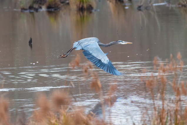 Southwick Images | Great Blue Heron In Flight