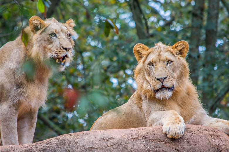 Southwick Images | Pair of Lions
