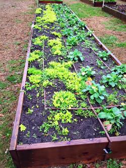 Lettuce and Collard Greens Dec 23