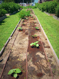 Second planting of cucumbers