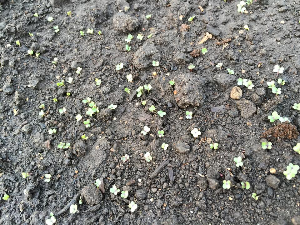 Second planting of turnips sprouting