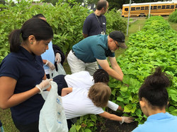 picking greenbeans.jpg