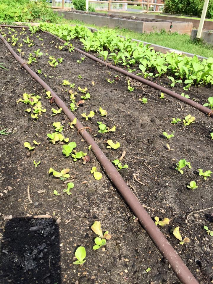 Lettuce radishes kale
