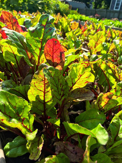 Red Beets Growing Nicely