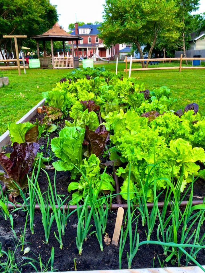 Good lookin' lettuce