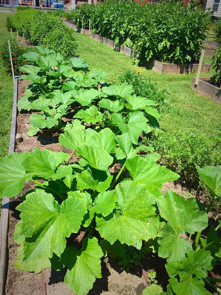 Second planting of squash and zucchi