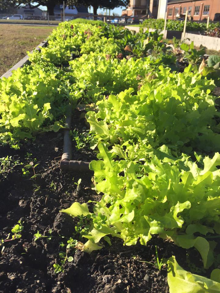 Gorgeous lettuce Nov 20