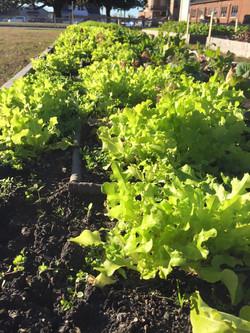 Gorgeous lettuce Nov 20