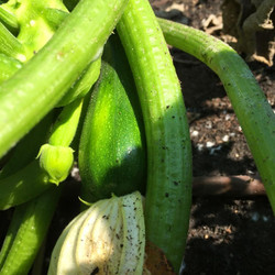 Zucchini August 22, 2015