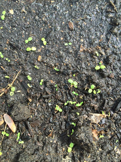 Lettuce sprouting