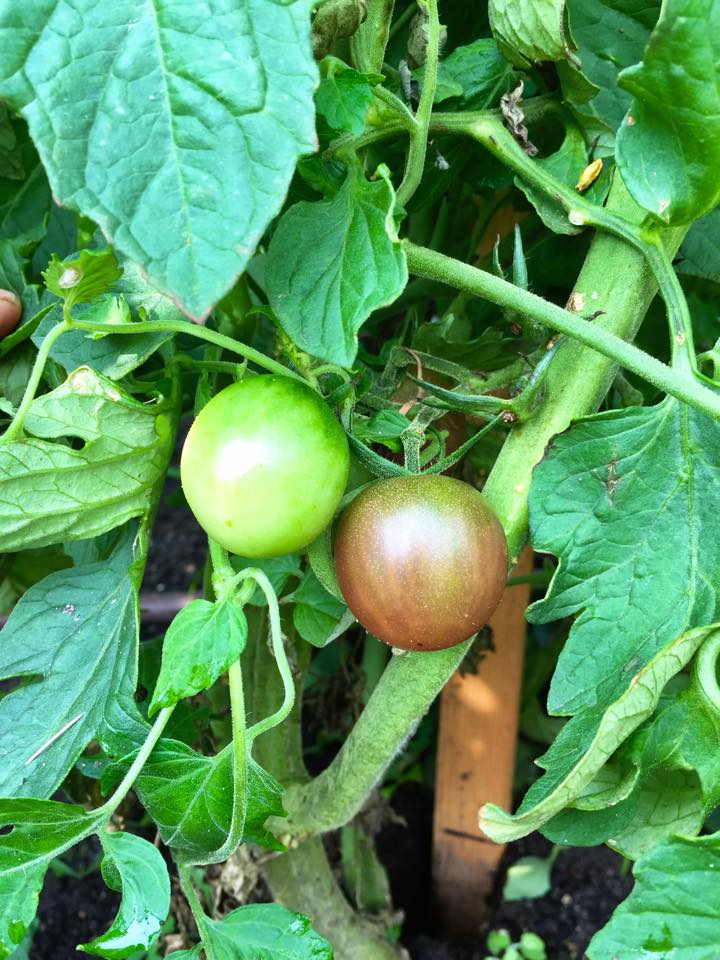 Tomatoes are turning